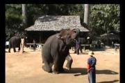 מופע פילים תאילנדי
