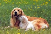 כלבים בשדה