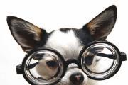 כלב משקפיים