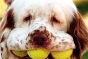 כלב משחק טניס