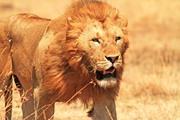 הכל על האריה