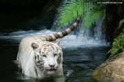 נמר לבן